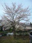 2011年の創立百周年記念植樹の桜も大きくなりました