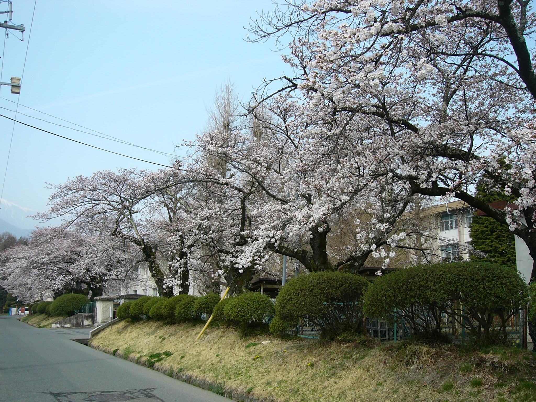 満開の桜花の下 入学式 | 伊那弥...