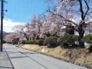 校門に続く桜並木