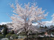 創立百周年(2011年)植樹の桜